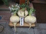 Sakurajima_daikon