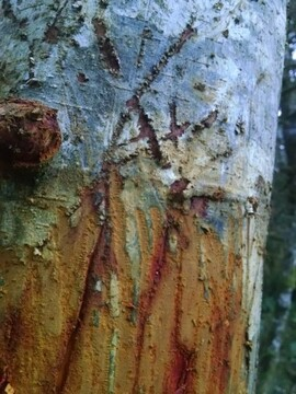 Elk graffiti-marks left on tree from where elk polished his horns